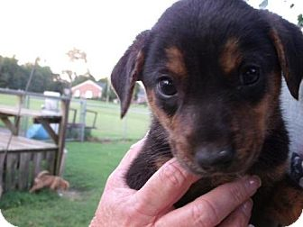 Rottweiler Mix Puppy for adoption in Rocky Mount, North Carolina - Dexter