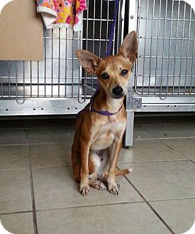 Chihuahua/Basenji Mix Dog for adoption in Lawrenceville, Georgia - Parker