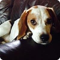 Adopt A Pet :: Bagel - Phoenix, AZ
