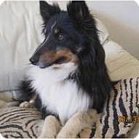 Adopt A Pet :: Charger - apache junction, AZ