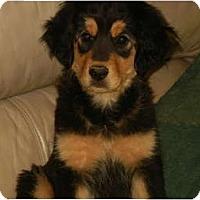 Adopt A Pet :: Shyla - Glastonbury, CT
