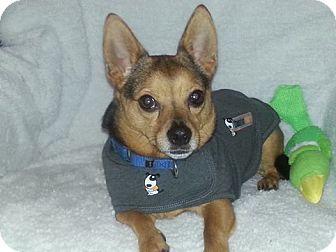 Chihuahua/Pomeranian Mix Dog for adoption in Oak Ridge, New Jersey - Junior