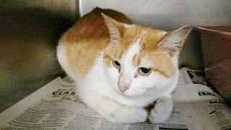 Domestic Shorthair Cat for adoption in Prestonsburg, Kentucky - binx