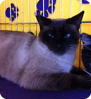 Siamese Cat for adoption in Sacramento, California - Thor M