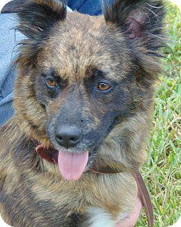 Shepherd (Unknown Type)/Terrier (Unknown Type, Medium) Mix Dog for adoption in San Leon, Texas - Blossom