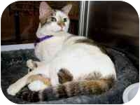 Domestic Shorthair Cat for adoption in tucson, Arizona - Sparkles