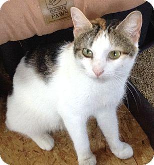 Domestic Shorthair Cat for adoption in Philadelphia, Pennsylvania - Mrs. Brady