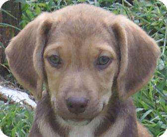 Beagle/Labrador Retriever Mix Puppy for adoption in Spring Valley, New York - Mocha