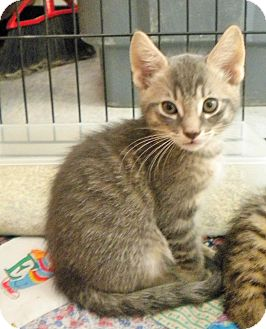 Domestic Shorthair Kitten for adoption in Umatilla, Florida - Ernie