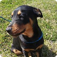 Adopt A Pet :: Scooter - West Warwick, RI