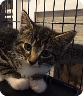 Domestic Shorthair Kitten for adoption in Manasquan, New Jersey - 11 week tiger female kitten