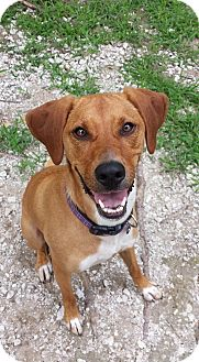 Coonhound Mix Dog for adoption in Geneseo, Illinois - Bambi