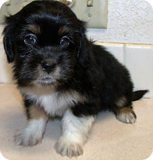 Shih Tzu/Terrier (Unknown Type, Small) Mix Puppy for adoption in Corona, California - GRACIE