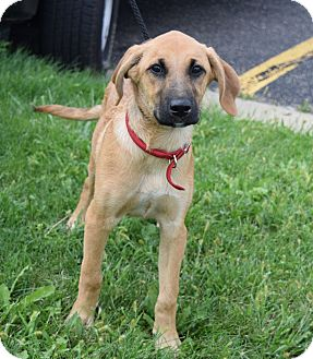 Shepherd (Unknown Type)/Hound (Unknown Type) Mix Puppy for adoption in Lisbon, Ohio - Danny