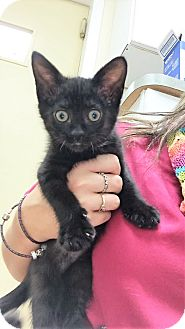 Domestic Shorthair Kitten for adoption in Toledo, Ohio - Esmeralda