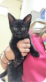 Domestic Shorthair Kitten for adoption in Toledo, Ohio - Esmeralda