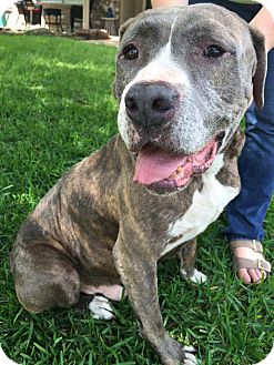 Mastiff/Pit Bull Terrier Mix Dog for adoption in Columbus, Ohio - A - CHARLIE