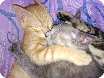 Domestic Shorthair Cat for adoption in Parkton, North Carolina - Orange Sherbet and Ashley