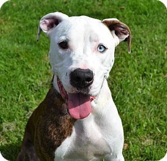 Great Dane/Labrador Retriever Mix Dog for adoption in Michigan City, Indiana - Rickett