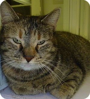 Domestic Shorthair Cat for adoption in Hamburg, New York - Claudia