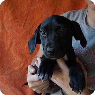 Labrador Retriever/Golden Retriever Mix Puppy for adoption in Oviedo, Florida - Annie