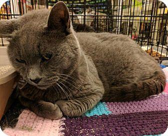 Domestic Shorthair Cat for adoption in Sacramento, California - Gus