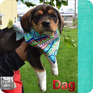 Beagle/Boxer Mix Puppy for adoption in Washington, Pennsylvania - Dag