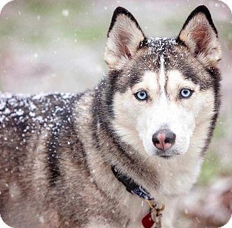 Siberian Husky Dog for adoption in Alpharetta, Georgia - Meshka