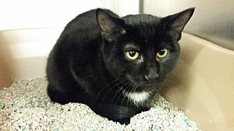 Domestic Shorthair Cat for adoption in Middlebury, Connecticut - TJ