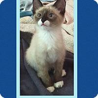 Adopt A Pet :: Al Pacino - Scottsdale, AZ