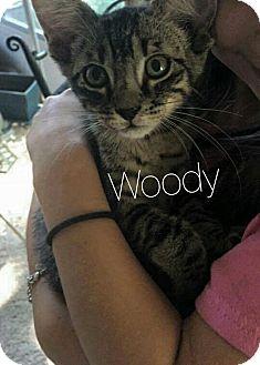 Domestic Shorthair Kitten for adoption in Wichita Falls, Texas - Woody