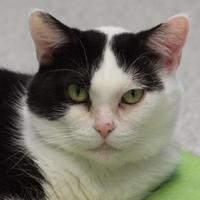 Domestic Shorthair/Domestic Shorthair Mix Cat for adoption in Elkhorn, Wisconsin - Andraya