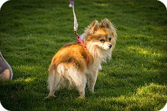 Pomeranian Mix Dog for adoption in Gardnerville, Nevada - Ladybug