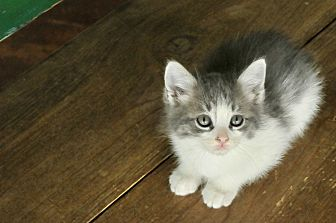 Domestic Mediumhair Kitten for adoption in San Antonio, Texas - Levi