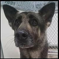 Adopt A Pet :: Goofy - Lancaster, CA