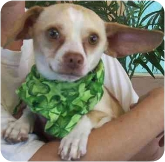 Chihuahua Dog for adoption in Las Vegas, Nevada - Sean Patrick