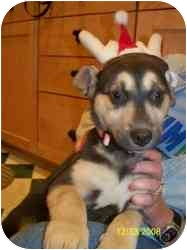 Husky/German Shepherd Dog Mix Puppy for adoption in Cincinnati, Ohio - Betty Jo