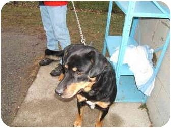 Rottweiler/Labrador Retriever Mix Dog for adoption in Wallaceburg, Ontario - Brutus