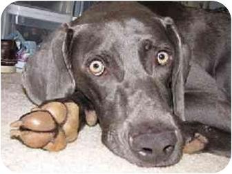 Weimaraner Dog for adoption in Marietta, Georgia - Carter-Adopted