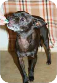 Manchester Terrier Mix Dog for adoption in Walker, Michigan - Taco