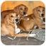 Photo 4 - Bloodhound/Vizsla Mix Puppy for adoption in Latrobe, Pennsylvania - 1 Bloodhound Mix Girl