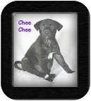 Australian Shepherd/Labrador Retriever Mix Puppy for adoption in Poway, California - Chee Chee