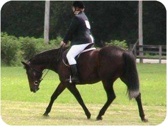 Standardbred for adoption in Dewey, Illinois - Honor