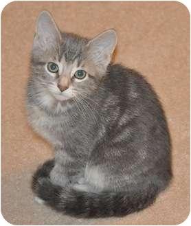 Domestic Shorthair Kitten for adoption in DeKalb, Illinois - Tahla
