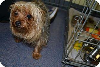 Yorkie, Yorkshire Terrier Dog for adoption in Edwardsville, Illinois - Chip