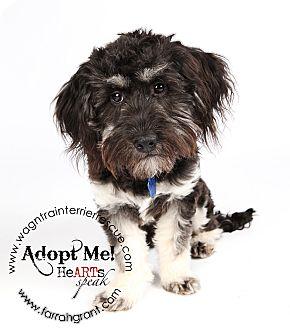 Cocker Spaniel/Schnauzer (Miniature) Mix Puppy for adoption in Omaha, Nebraska - Ozzie-pending adoption
