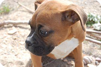Boxer Puppy for adoption in SLC, Utah - Bosch