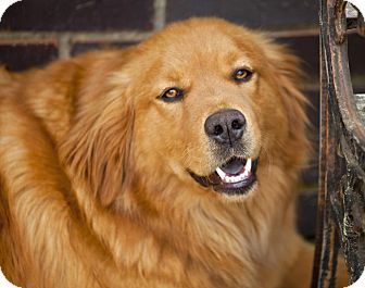 Golden Retriever/Chow Chow Mix Dog for adoption in Huntsville, Alabama - Rodeo