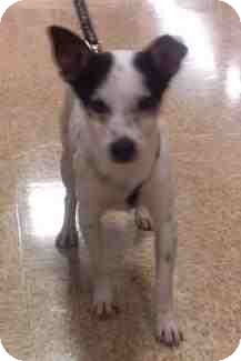 Fox Terrier (Smooth) Mix Dog for adoption in Houston, Texas - Domino