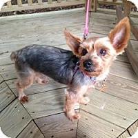 Adopt A Pet :: Samson - Fairfax, VA